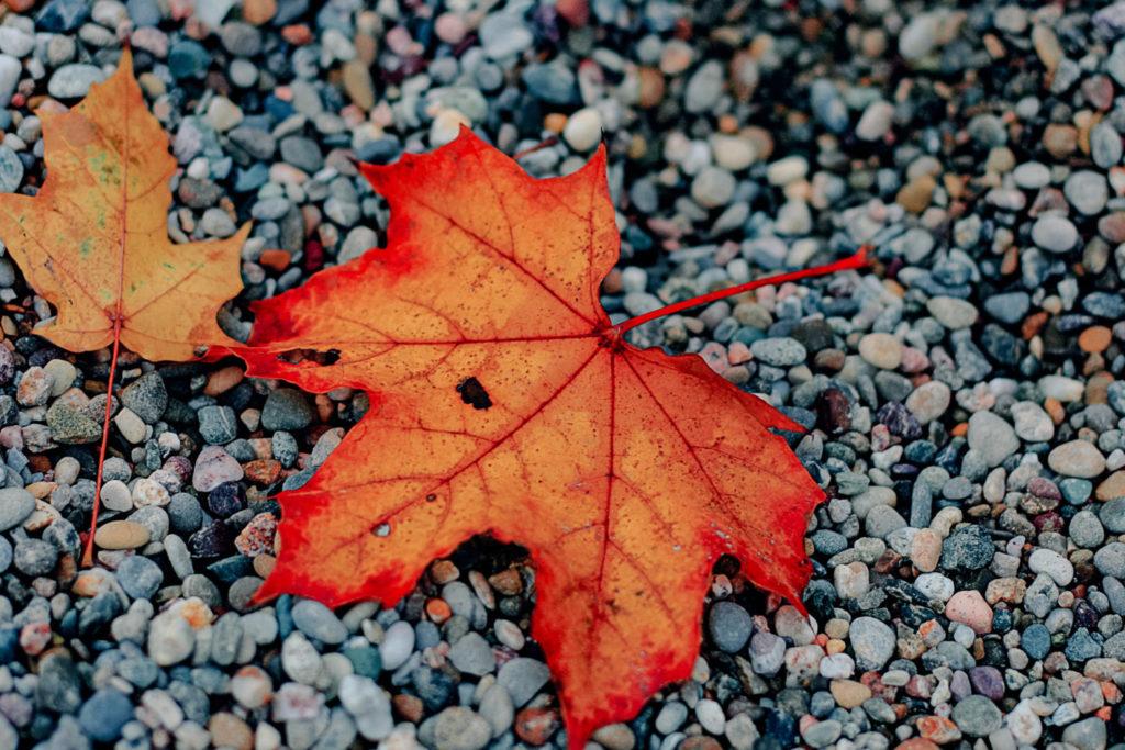 Gefallene Herbstblätter für Beete und Pflanzen nutzen