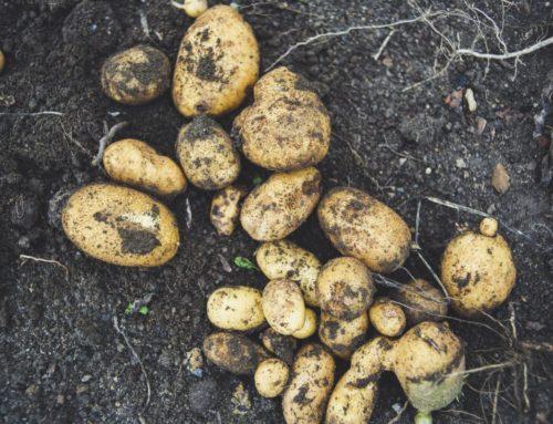 Kartoffeln im Eimer pflanzen:  So klappt's auf dem Balkon oder in der Wohnung
